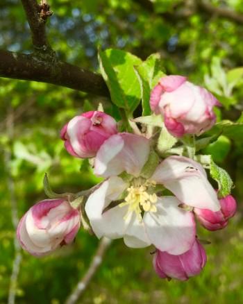 Äppelblom 2